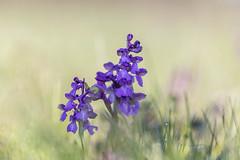 Orchis Bouffon (heijoelle) Tags: bainvilleauxmiroirs workshoppf fleur macro orchisbouffon orchidée france meurtheetmoselle stage lorraine macrophotographie