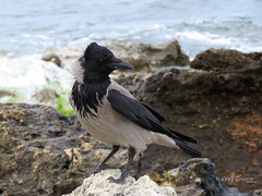 Hooded Crow at the seacoast. (Vitaly Giragosov) Tags: hoodedcrow corvuscornix sevastopol songbird crimea russia сераяворона певчие птицы севастополь крым рф