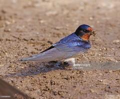 Swallow (Gary Chalker, Thanks for over 4,000,000. views) Tags: swallow hirundine bird pentax pentaxk3ii k3ii pentaxfa600mmf4edif fa600mmf4edif fa600mm 600mm
