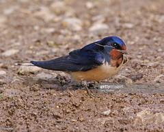 Swallow (Gary Chalker, Thanks for over 4,000,000. views) Tags: swallow bird hirundine pentax pentaxk3ii k3ii pentaxfa600mmf4edif fa600mmf4edif fa600mm 600mm