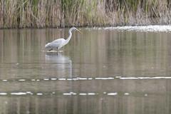 Où est ce poisson... - Where's this fish... (bboozoo) Tags: grandeaigrette greategret oiseau bird nature animal wildlife eau water lac lake canon6dmarkii tamron150600