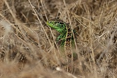 Sand Lizard (Male) (farrertracy) Tags: sandlizard lacertaagilis lizard reptile grass green spring sunshine beautiful bluesky brown dorset