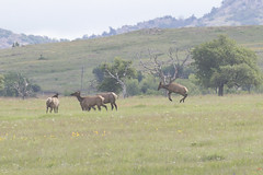 Windy Day 5-9-19 (Larry Smith2010) Tags: wichitamountainswildliferefuge wichitamountains oklahoma larrysmith elk windy