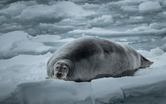 What a Sweetheart (MrBlackSun) Tags: winter svalbard bearded seal nikon d850 landscape nature ice landscapephotography naturephotography beardedseal