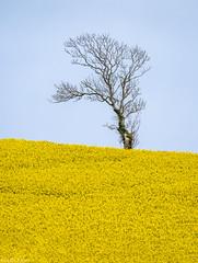 Tree on yellow and blue (Donard850) Tags: tree oilseed rape yellow blue fuji xt20 spring