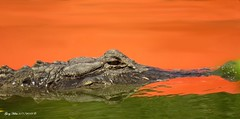Waiting!!!!! (Gary Helm) Tags: florida wildlife animal nature outside outdoor reptile grose water gator alligator osceolacounty red tourist colors garyhelm ghelm4747 waiting different image photograph eaten attacked interesting threelakeswildlifemanagementarea joeoverstreetlanding