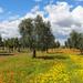 Olives & flowers