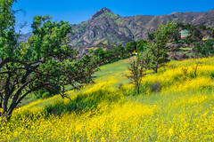 Malibu Canyon Malibu Creek State Park California Wildflowers Superbloom! God Spilled Buckets of Paint  Nikon D850 & AF-S NIKKOR 28-300mm f/3.5-5.6G ED VR from Nikon Zoom Lens! California Spring Wild Flower Super Bloom Elliot McGucken Fine Art Landscapes! (45SURF Hero's Odyssey Mythology Landscapes & Godde) Tags: malibu canyon creek state park california wildflowers superbloom god spilled buckets paint nikon d850 afs nikkor 28300mm f3556g ed vr from zoom lens spring wild flower super bloom elliot mcgucken fine art landscapes