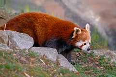 Red! | SONY ⍺7RII & Sigma FE 1.8/135 Art (.: mike | MKvip Beauty :.) Tags: sony⍺7rmarkii sony⍺7rii sonyilce7rm2 sonyalpha7rm2 sonyalpha sony alpha emount ⍺7iii ilce7rm2 ibis sigmafe135mmƒ18dghsm|art sigma art 135mmƒ18 handheld availablelight naturallight shallowdof bokeh bokehlicious beyondbokeh extremebokeh smoothbokeh nature animal redpanda panda ailurusfulgens spring germany europe mth mkvip ngc npc