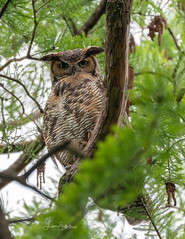Great Horned Owl (Lisa Saffell) Tags: