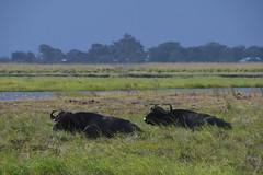 DSC_2743 (Marshen) Tags: capebuffalo botswana