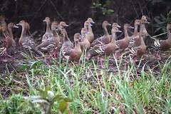 Plumed Whistling-Ducks (philk_56) Tags: australia northern territory yellow water wetlands kakadu national park birds plumed whistling ducks