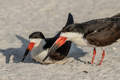 Pair of Black Skimmers (dbadair) Tags: outdoor sky nature wildlife 7dm2 7d ii ef100400mm ocean canon florida bird