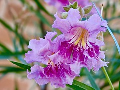 First Desert Willow Flowers of 2019 (Chic Bee) Tags: tucson arizona macro canonpowershotsx70hs flower anatomy dof contrast lightandshadows morningsunshine reproduction botany desertwillow petals sonorandesertgarden southwesternusa americansouthwest shade