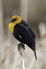 Yellow headed Blackbird (Peter Stahl Photography) Tags: yellowheadedblackbird blackbird spring bird wildlife
