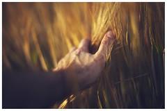 Caricias (una cierta mirada) Tags: hand cereals nature crop wheat skin crops fertility fingers spikes sunset