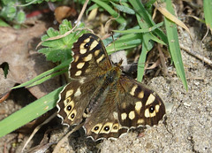 Speckled Wood butterfly (hedgehoggarden1) Tags: speckledwood butterfly lepidoptera insect nature sonycybershot suffolkwildlifetrust suffolk eastanglia uk lackfordlakes sony butterflies wildlife creature