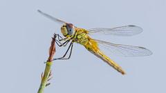 21082018-LT2_9860 (Luc TORRES) Tags: auto faune libellule moyendetransport nature lnsecte
