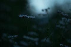 the ghosts of summer (2) (birdcloud1) Tags: coriander plant flower herb summer twilight canoneos80d eos80d helios44258 helios442 amandakeogh amandakeoghphotography birdcloud1 lightanddarkness midsummer thesecretlifeofplants happilyfreefromfencesfriday