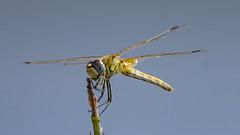 21082018-LT2_9847 (Luc TORRES) Tags: auto faune libellule moyendetransport nature lnsecte