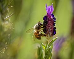 Abeille butineuse 5 (thierrybalint) Tags: abeille bee butineuse insecte faune flore flora wildlife macro nikon nikoniste balint thierrybalint ngc