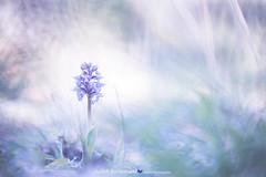 Orchidee op Kreta   Orchid at Crete (Judith_Borremans) Tags: kreta crete orchid orchidee bloem flower pastel macro natuur nature