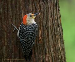 Red-bellied Woodpecker (Kevin James54) Tags: melanerpescarolinus nikond850 peacevalleypark redbelliedwoodpecker tamron150600mm animals avian bird kevingianniniphotocom woodpecker
