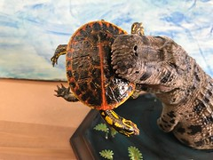 Purussaurus & Stupendemys (1:35) / Limited Edition 35 Pieces / Not Finished (RobinGoodfellow_(m)) Tags: purussaurus stupendemys resin kit rhino limited edition 135 35 china cina sculptor miocene turtle prehistoric alligator crocodile