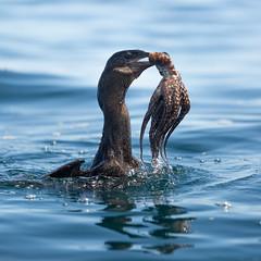 A Flightless Cormorant sorting out its lunch (pgpicture) Tags: galapagosislands cormorant flightlesscormorant octopus birds sea