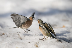 A9_00346 (msmedsru) Tags: kuusamo finland oulanka spring snow flight action chaffinch