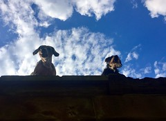Statler and Waldorf - the hooligans (Zandgaby) Tags: statler waldorf hooligans dogs canine funny sky clouds blue wall annoying barking