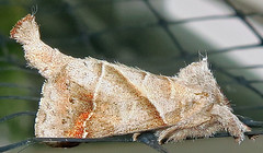 Angle-lined Prominent, Clostera inclusa, Jamaica Bay Wildlife Refuge (Seth Ausubel) Tags: notodontidae moth pygaerinae