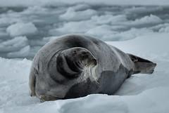 Curly Beard (MrBlackSun) Tags: svalbard spitsbergen bearded seal beardedseal nikon d850 landscape nature naturephotography landscapephotography