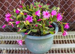 Spring Cactus in Our Garden (SCSQ4) Tags: cactus cactusflowers california flowers fullbloom garden home homegarden longbeach pink pottedplant springcactus