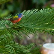 FB 20120212  Bunting Profile-2175 (louiep_himself) Tags: 04apr 0id 2012 backyard birds buntings dates month nature paintedbunting places portfolio