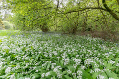 Wild garlic and bluebells in woods (JRPics.) Tags: wood wildgarlic spring england flowers plants enjoy gloucestershire colour landscape trees shadow countryside shade outside bluebells forest woods walking outdoors westonbirtarboretum newlife nature arboretum uk