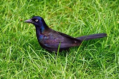 Common Grackle (Anne Ahearne) Tags: wild bird animal nature wildlife grass colorful songbird birdwatching grackle iridescent commongrackle