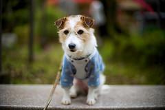 Wait (moaan) Tags: tanba hyogo japan dog jackrussellterrier kinoko portrait dogportrait dogphotography focusonforeground selectivefocus bokeh bokehphotography dof leica leicamp type240 noctilux 50mm f10 noctilux50mmf10 leicanoctilux50mmf10 utata 2019