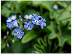 Forget Me Not (prima seadiva) Tags: april mygarden forgetmenot myosotis blue closeup