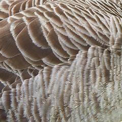 Canada Goose (the.sullivan) Tags: cnadagoose branta canadensis goose honk olympus m43 feathers