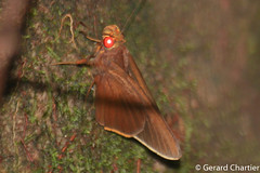 Matapa druna (Grey-brand Redeye) (GeeC) Tags: tatai hesperiidae cambodia animalia nature matapadruna hesperiinae lepidoptera hesperioidea kohkongprovince insecta arthropoda plastingiagroup matapa butterfliesmoths greybrandredeye skipperbutterflies