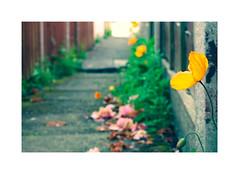 Signs of Summer ! (CJS*64) Tags: flowers flower alley alleyway cjs64 craigsunter cjs colour nikon nikkorlens nikkor nikond7000 dslr d7000 50mmf18lens 50mmnikkorlens 50mmf18d