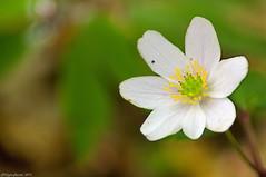 Anémone des bois (Phil du Valois) Tags: anémonedesbois anémone bois anemone nemorosa fleur sauvage forêt