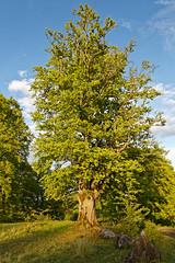 Hutebuchen am Sportplatz von Steinperf (Rolf Majewski) Tags: hutebuchen bäume steinperf hessen deutschland sonnenuntergang