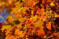 Autumn Leaves, Mount Lofty Botanic Garden, South Australia (Red Nomad OZ) Tags: garden botanicgarden mountlofty mountloftybotanicgarden plant nature colour outdoor autumn fall season adelaide australia adelaidehills southaustralia leaf tree natural orange color foliage