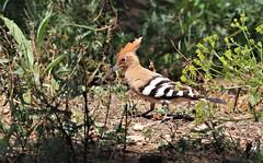 Hoopoe      (Upupa epops) (nick.linda) Tags: hoopoe upupaepops sun shade wildandfree spain canon7dmkii canon100400mkll