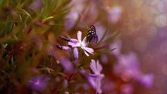 Frühling (Dieter Toelke Photography.) Tags: flora fine flower blume blumen blüte blüten pflanze pflanzen wiese frühling schmetterling butterfly farben jahreszeiten kreativ natur