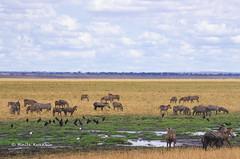 IMGP0683 (b kwankin) Tags: africa bird landscape tanzania tarangire zebra