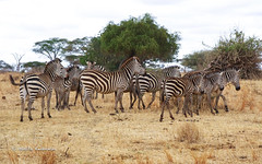 IMGP0625 (b kwankin) Tags: africa tanzania tarangire zebra