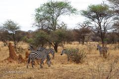 IMGP0529 (b kwankin) Tags: africa landscape tanzania tarangire zebra